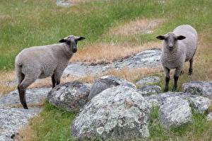Картинка Камень Овцы Траве Двое животное