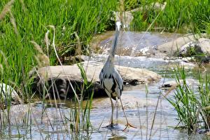 Картинки Камень Вода Птицы Цапля Трава Grey Heron животное