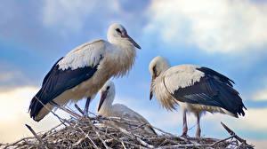 Обои Аисты Птицы Три животное