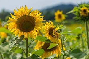 Обои Подсолнухи Боке Желтые Цветы