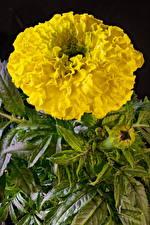 Фото Бархатцы Крупным планом Желтых цветок