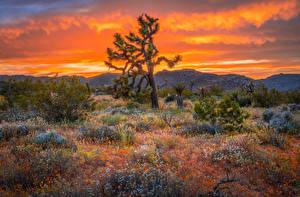 Обои США Парк Деревья Калифорнии Joshua Tree National Park Природа