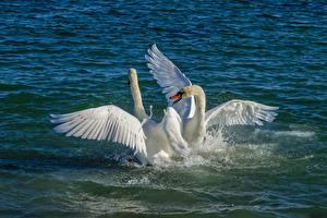 Обои Вода Птицы Лебеди Брызги Белый Двое Животные картинки