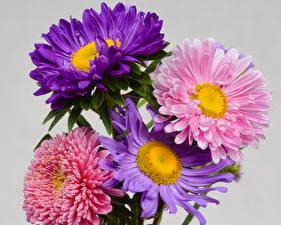 Картинки Астры Крупным планом Сером фоне Разноцветные Цветы