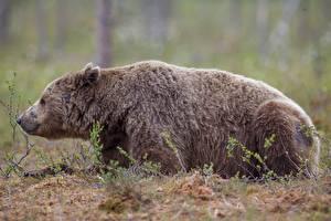 Фотографии Медведь Боке Сбоку Лежа Животные