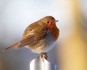 Фотография Птица Размытый фон European robin