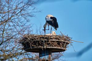 Фотографии Птица Аисты Гнезда Двое