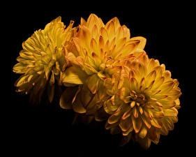 Обои Хризантемы Крупным планом Черный фон Трое 3 Желтый Цветы картинки