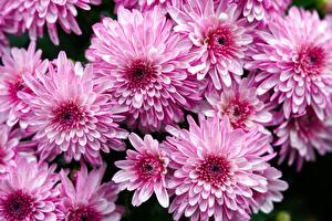 Картинка Хризантемы Много Розовые цветок