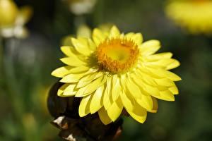 Картинка Вблизи Желтая Боке Xerochrysum