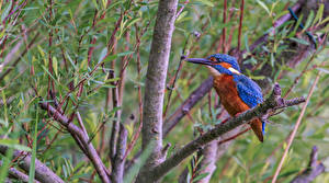 Картинка Обыкновенный зимородок Птица На ветке