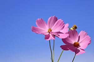Фото Космея Вдвоем Розовые цветок