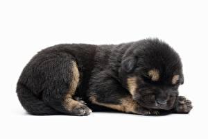 Обои Собака Немецкая овчарка Белый фон Щенок Лежачие Животные