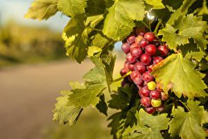 Картинки Виноград Ветка Листва
