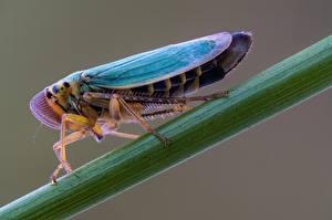 Фото Насекомые Вблизи cicadella viridis Животные