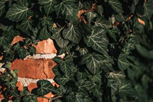 Обои для рабочего стола Стенка Кирпичный Листва Ivy Природа