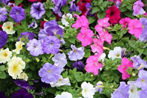 Картинки Петунья Много Вблизи Разноцветные Цветы