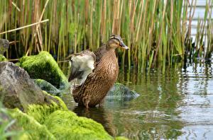 Фото Камни Птицы Утки Воде Мха Животные