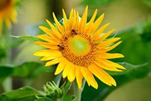 Обои Подсолнухи Пчелы Насекомые Размытый фон Желтых
