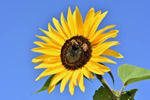 Фото Подсолнухи Пчелы Насекомые Желтые