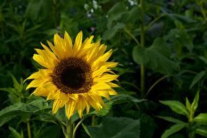 Обои Подсолнухи Размытый фон Желтый Цветы картинки