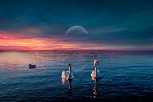 Картинки Рассвет и закат Лебеди Утка Птица Луны