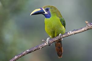 Фото Туканы Птицы Вблизи Ветка