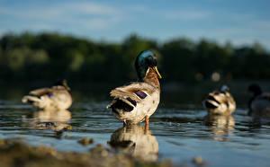 Фотография Воде Птицы Утка Размытый фон Животные